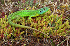 Green Lizard on the ground