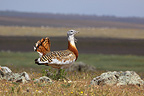 Great Bustard (Great Bustard)