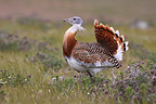 Male Great Bustard in courtship (Great Bustard)