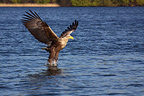White-tailed Eagle fishing (White-tailed Eagle)