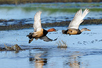 Couple of Common Pochard in flight over water  (Common Pochard)
