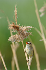 Sedge Warbler singing on a reed  (Sedge Warbler)