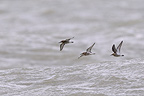 Dunlin in flight above the sea Baie de Somme Picardie France (Dunlin)