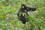 Wolly spider monkey in the branches of a tree�South america