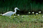 Little Blue Heron in water South America (Little blue heron)