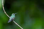 Glittering-throated Emerald on a branch South America (Glittering-throated Emerald Hummingbird)