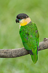Black-headed Parrot on a branch South America (Black-headed Parrot)