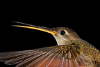 Portrait of a Straight-billed Hermit South America (Straight-billed Hermit)