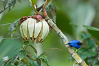 Purple Honeycreeper South America (Purple Honeycreeper)