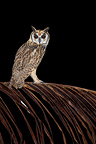 Striped Owl on a branch South America (Striped Owl)