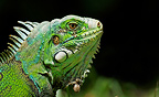 Portrait of a Common iguana South America