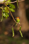 Bee-eater between two lugs Thailand  (Chestnut-headed Bee-eaters)