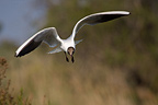 Black-headed Gull in flight in Camargue France (Black-headed Gull)