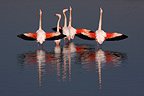 Great Flamingos in pond Vaccar�s Camargue France� (Greater Flamingo)