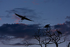 White Storks at dusk Petite Camargue France  (White stork)