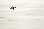 Common Goldeneye flying over a frozen lake Finland� (Common Goldeneye)