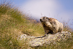 Alpine marmot on a rock Vanoise Alps France  (Alpine marmot )