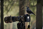 Spotted Nutcracker on a camera Valais Switzerland (Spotted Nutcracker)
