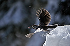Spotted Nutcracker flying away with seed Valais Switzerland (Spotted Nutcracker)