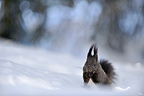 Red squirrel looking for seeds of snow in Switzerland  (Eurasian red Squirrel )