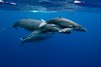 Humpback whale and her young South Pacific Tonga (Humpback whale)