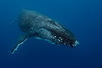Humpback whale swimming in the South Pacific Tonga (Humpback whale)