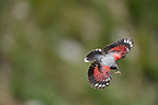 Wallcreeper flight with insects in beak Alps France� (Wallcreeper)