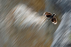 Wallcreeper flying over rocks Alps France (Wallcreeper)