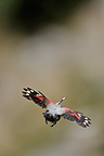Wallcreeper in flight with Fecal sac in beak Alps France (Wallcreeper)