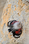 Young Wallcreeper cliff Gapensais Alps France  (Wallcreeper)