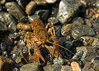 Atlantic Stream Crayfish in a rivier Albania (Atlantic Stream Crayfish)