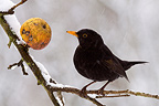 Eurasian Blackbird on a snowy winter apple France (Blackbird)