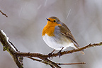 European Robin on a snowy tree in winter France (European Robin)