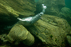 Grey Seal underwater at Jentilez France (Gray seal)