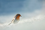 European Robin in winter (European Robin)