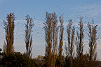 Starlings in the leafless poplars black Provence (Starlings)