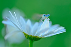 Damselfly on a daisy flowerTouraine France
