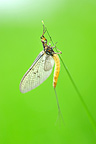 Mayfly on grass Touraine France