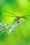 Dragonfly on a grass Touraine France�