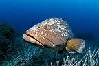 Dusky grouper on Posidonia meadow Mediterranean Port-Cros (Dusky Grouper)
