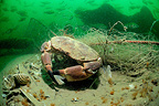 Crab trapped in a net Ol�ron Atlantic Ocean France (crab)