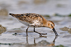 Dunlin looking for worm in the mud Britain France (Dunlin )