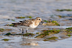 Sanderling hunting shrimps, Saint-Brieuc bay, Britanny,�France. This individual is moulting and replenishing fat reserves during a migratory stopover on its return to nesting areas in the arctic.