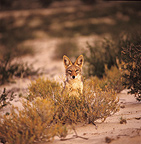 Black-backed jackal Kalahari desert South Africa (Back-backed jackal)