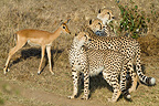 Three young brothers Cheetahs playing with a young Impala (Cheetah)