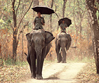 Elephants with their mahouts in Sal forest Chitwan Nepal (Asian elephant)