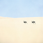 Ostriches running across a white sand dune Skeleton Coast (Ostrich)