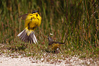 Yellow Wagtail in courtship France (Yellow Wagtail)