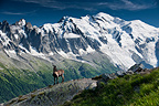 Alpine Ibex in front of the great Mont Blanc France (Ibex)
