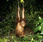 Young orang utan swinging in rainforest Tanjung Puting (Orangutan)